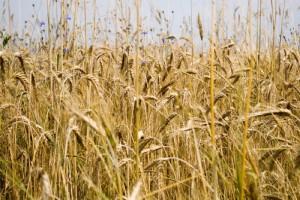 Paszkiewicz: spadła cena żyta, spadła składka do KRUS