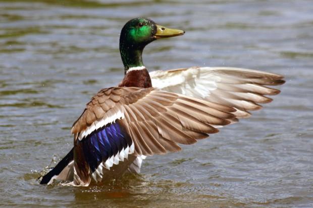 Ptasia grypa w Rumunii