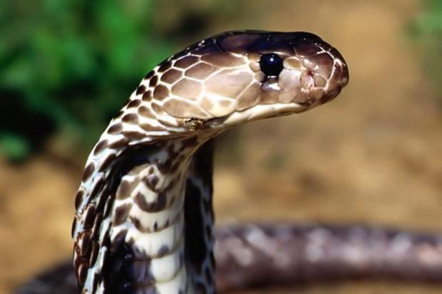 WHO: produkuje się za mało antidotów na jad węży