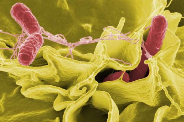 Wielka Brytania: salmonella możliwym lekiem na raka