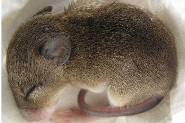 USA: urodziły się myszy z materiałem genetycznym dwóch ojców