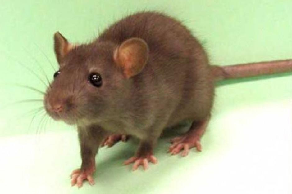 Czynnik wzrostu o nazwie IGF-II poprawia pamięć (u szczurów)