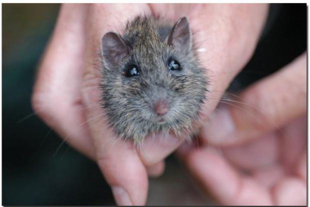 Liposomy pomagają zwalczać raka - u myszy
