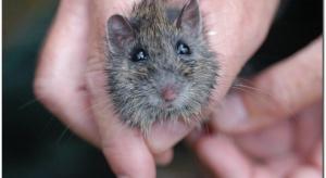 Stres wywołuje zmiany w mózgu (u myszy)