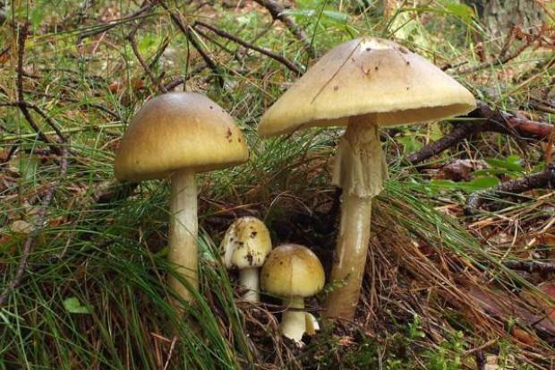 Świętokrzyskie: wysyp grzybów - uwaga na zatrucia