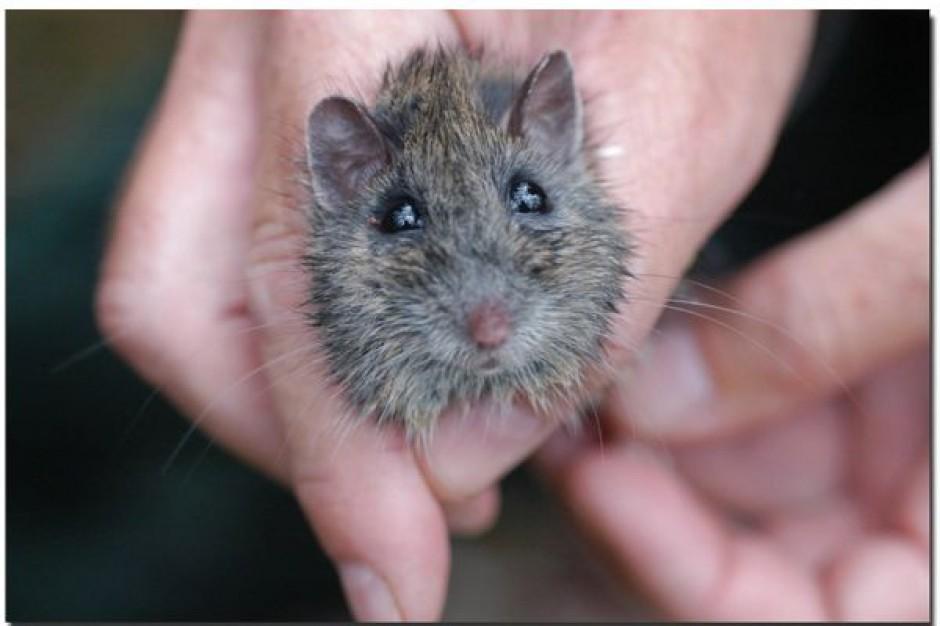 Myszy przeżyły napromieniowanie dzięki lekom