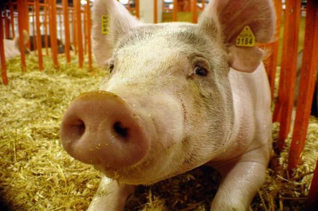 Podbeskidzie: wykryto włośnicę u świni