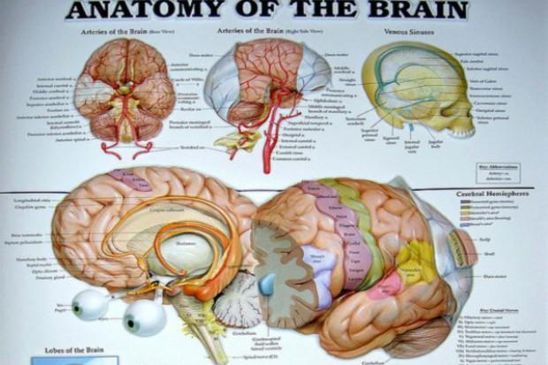 Ludzka mowa i ptasi śpiew - w lewej półkuli mózgu