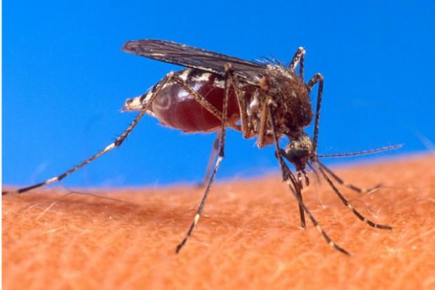 Komary mogą przenosić w Polsce dirofilariozę