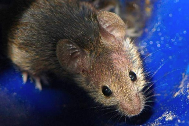 Elektroniczne urządzenia rozpuszczają się w organizmie - na razie u badanych myszy