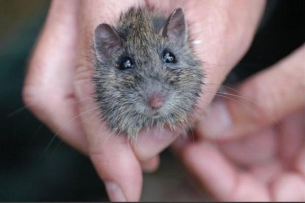 Transgeniczna mysz gotowa do walki z otyłością