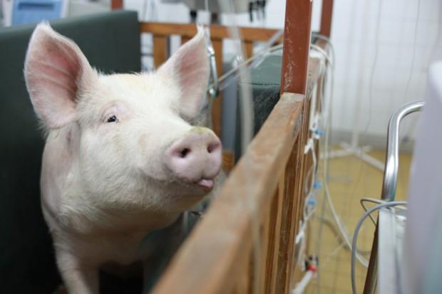 Trwają prace nad polską, świńską bioprotezą zastawki