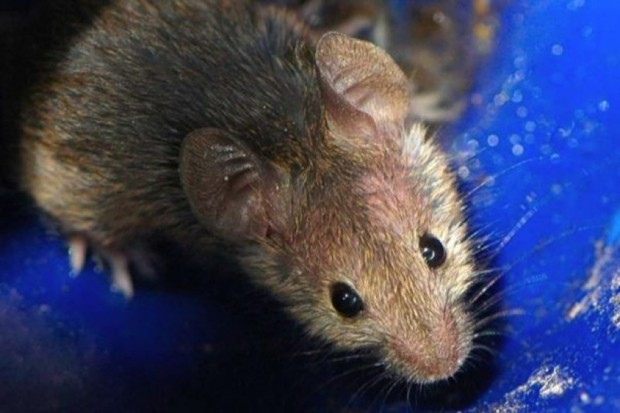 Badania: odbudowali grasicę u myszy