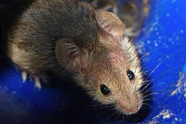 Naukowcy upijają myszy, by zbadać mechanizmy uzależnienia u ludzi