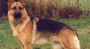 Wśród psów ratowniczych najwięcej jest owczarków niemieckich