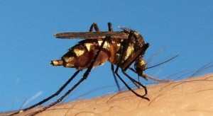 WHO: w Nigerii 172 ofiary śmiertelne żółtej febry