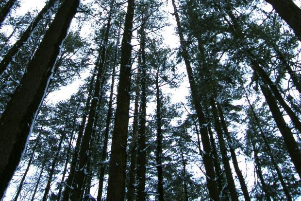 Naukowcy: drzewa też produkują groźny dla zdrowia pył zawieszony