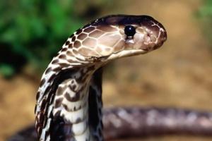 Lekarze bez Granic: kończą się zapasy leku na jad węży