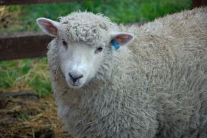 Zmienili jądro komórki owcy w plemnik; odkrycie ma znaczenie dla medycyny
