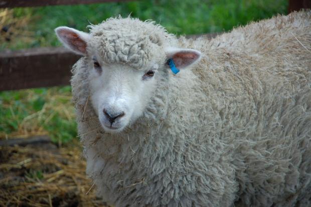 Uniwersytet medyczny hoduje owce i barany