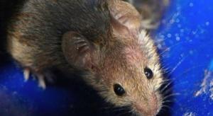 Naukowcy cofnęli ważne objawy starzenia u myszy