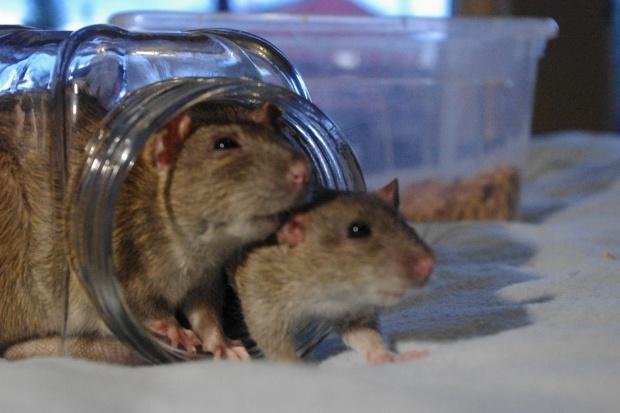 Antynoble rozdane: urolog ubierał szczury w spodnie i badał ich popęd płciowy