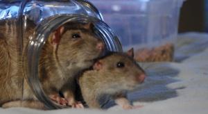 Składnik marihuany działa antyuzależnieniowo - u szczurów