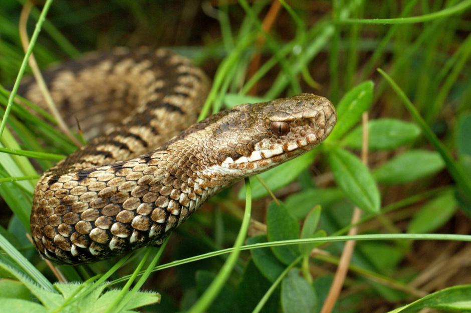 Jad węża może być lekiem przeciwpłytkowym