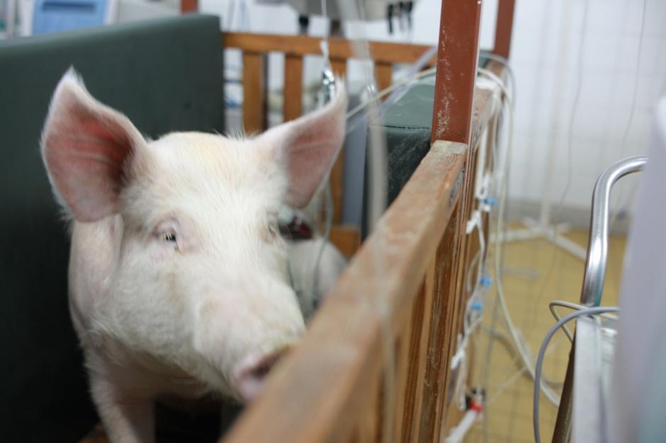 Człowiek też może zarażać świnie pomorem