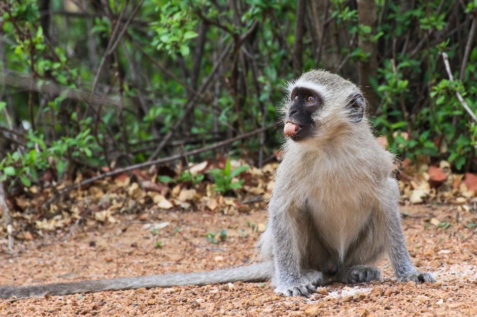 Antykoncepcyjny żel dla mężczyzn testowany na małpach