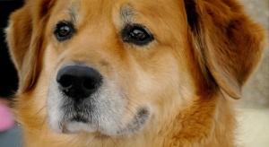 Turcja: pies codziennie przychodził przed szpital, w którym był jego chory właściciel