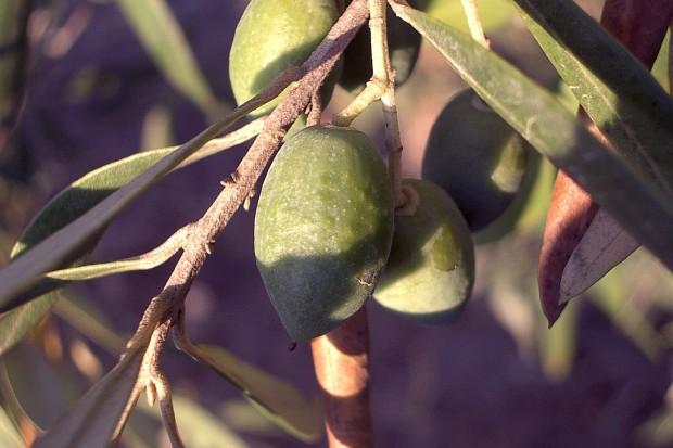 Naukowcy: oliwa z oliwek może zapobiegać rakowi mózgu?