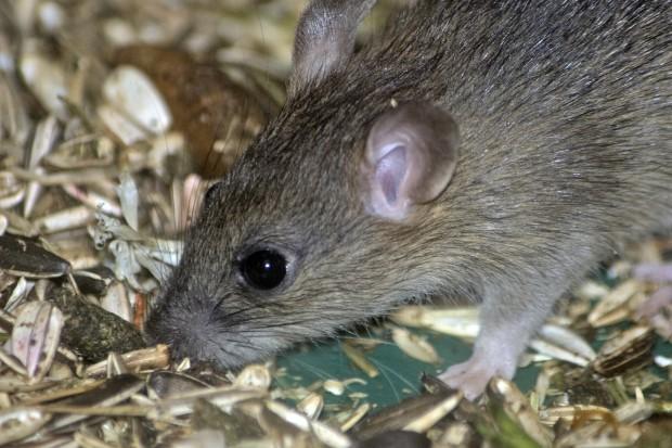 Odkryto związek pomiędzy otyłością a temperaturą ciała, to u myszy