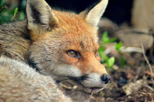 Śląskie: lisy zostaną zaszczepione przeciw wściekliźnie