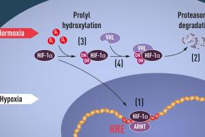 Za co Nobel z medycyny: badania dotyczące ''tlenowych regulacji'' na poziomie komórki