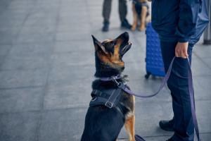 Psy lepsze niż testy przesiewowe? Naukowcy: skutecznie wykrywają zakażenia koronawirusem