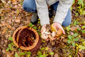 Uwaga na groźne zatrucia grzybami. Mogą okazać się śmiertelnie groźne
